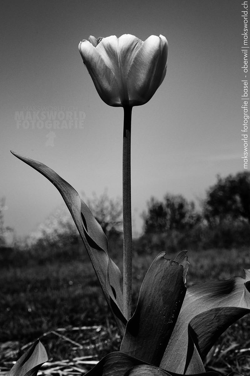 Blumenbilder Schwarz Weiß blumen blumen schwarz weiss maksworld fotografie basel oberwil